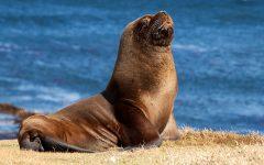 Narador rescatado de la mordedura de leon marino