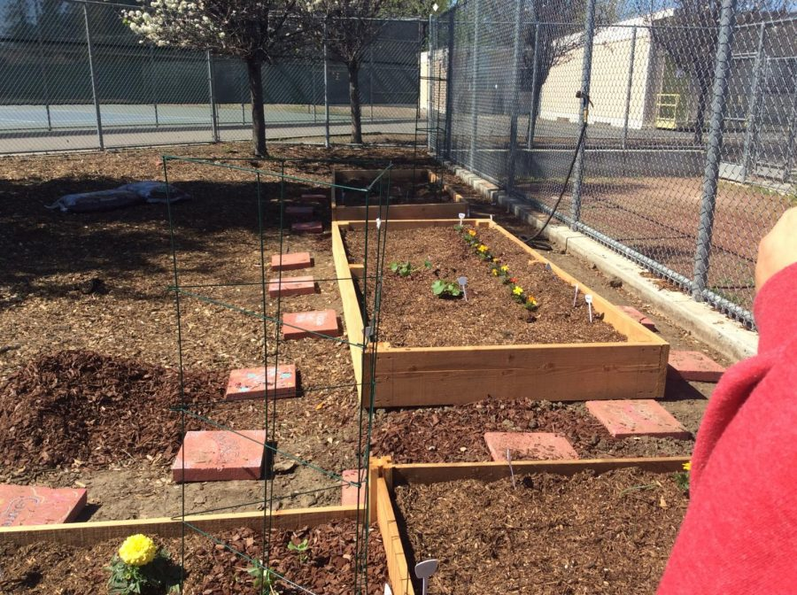 Students at Abraham Lincoln's High School, in San Jose, CA, started a garden with the help of Ms. Neely, their English teacher.
