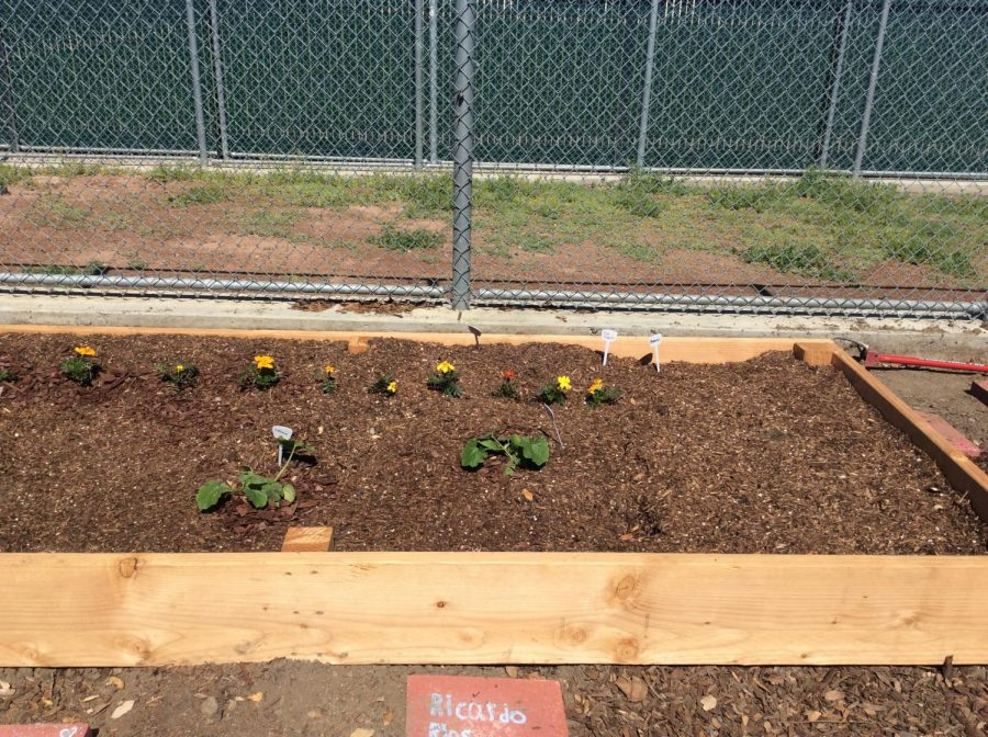 Students at Abraham Lincoln's High School, in San Jose, CA, started a garden with the help of Ms. Neely, their English teacher. (Gabriela Aguayo / Lincoln Lion Tales).