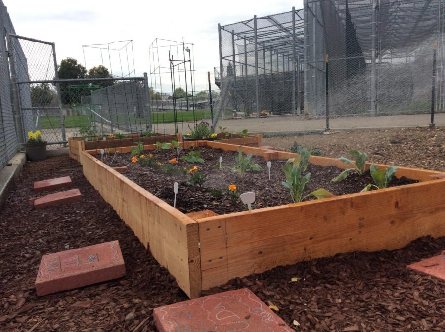 Here+is+our+Lincoln+Garden+getting+some+fresh+water+by+freshmen+Luis+Correa.+Luis+and+his+fellow+classmates+are+growing+tomatoes%2C+lettuce%2C+and+chilies.+Luis+Correa+takes+30+minutes+to+water+each+plant+box.+%28Isaiah+Sedano%2F+Lincoln+Lion+Tales%29